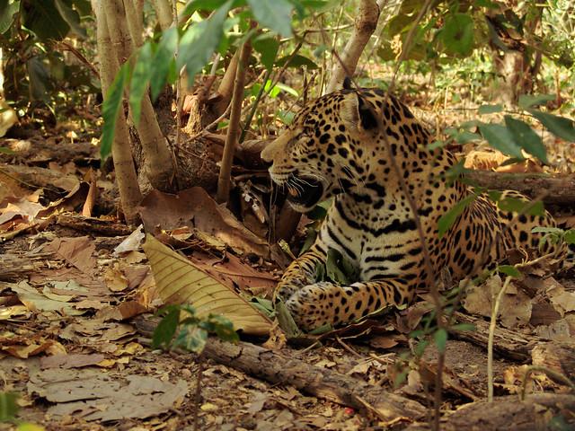 Jaguar venezuelano VS Leopardo macho monstro 4307422899_5030b05b8c_z