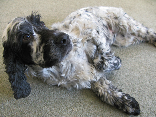Spanner, my English Cocker Spaniel! Best dog in the world, EVER! | Emma Lamb