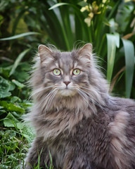 domestic long-haired cat, animal, small to medium-sized cats, pet, fauna, cat, wild cat, carnivoran, whiskers, nebelung, norwegian forest cat,
