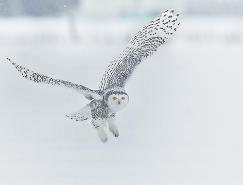 ottawa ontario canada snowyowl owl buboscandiacus bubo strigidae trueowls typicalowl nigelje