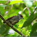 White-barred Piculet / Carpinterito común