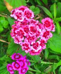 carnation, annual plant, shrub, flower, plant, flora,
