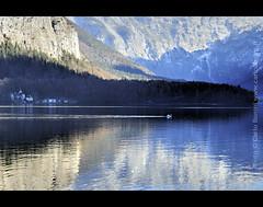 Lago di Hallstatt - Cigno