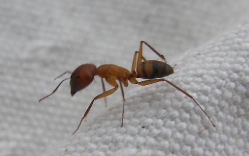 hormiga en la lona