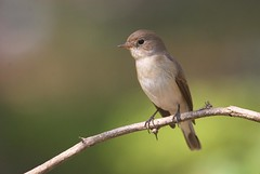 Ms. Red Breasted Flycatcher