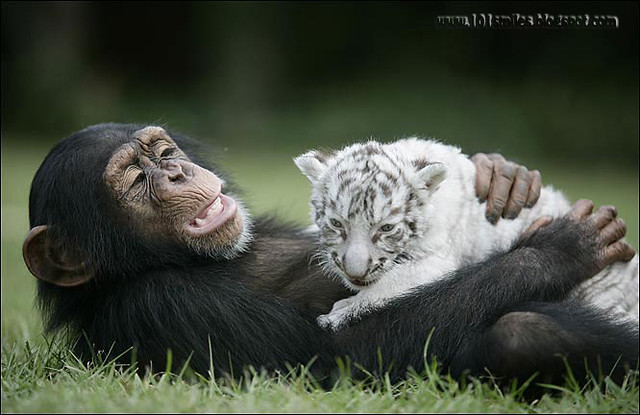 chimpanzee and  tiger