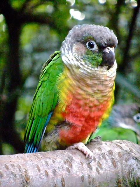 Yellow-sided Conure | ...