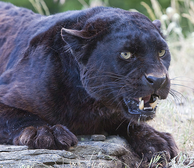 a description of the black panther as a type of leopard The black panther, a term that encompasses black leopards and black jaguars where do black panthers live a: what is the maximum speed of a leopard art.