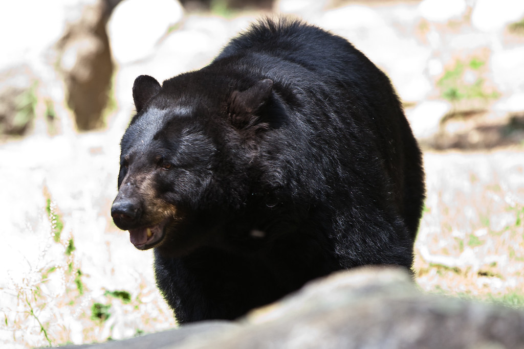 Black Bear-Not at Beartown WV.jpg