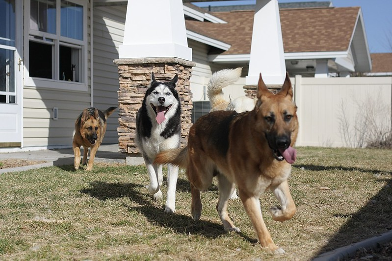 Playdate pics with our 3 and a GSD we might be adopting soon! 12961625243_babe2311aa_c