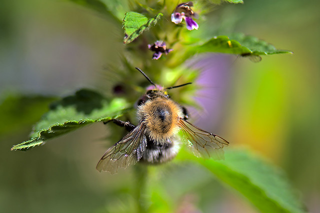 Bumble-bee at work