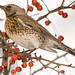 Fieldfare - Photo (c) Sergey Yeliseev, some rights reserved (CC BY-NC-ND)