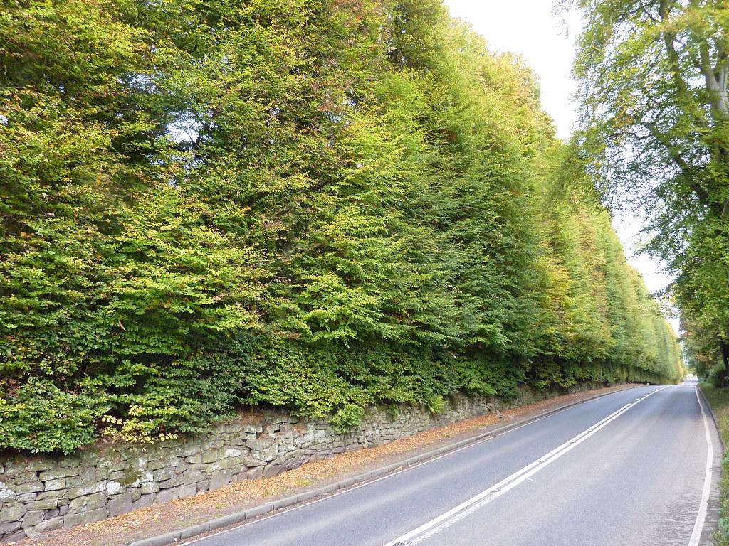 Meikleour beech hedge
