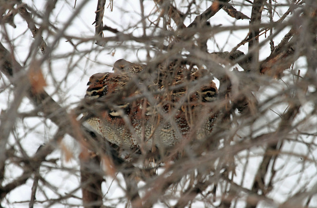 Bobwhite quail covey - photo#17