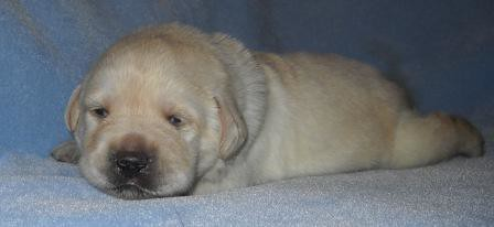 Labs for sale in colorado springs