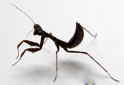 L4 Budwing Mantis - Parasphendale agrionina