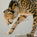 Small photo of King Cheetah - Kgosi