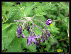 Morelle douce-amère (Solanum dulcamara) - Photo of Saint-Sylvain