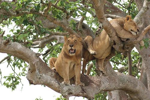 lion uganda lionpride pantheraleo queenelizabethnp hganimalsonly hennysanimals