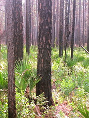 Pine Forest after a Fire in Okefenokee Swamp