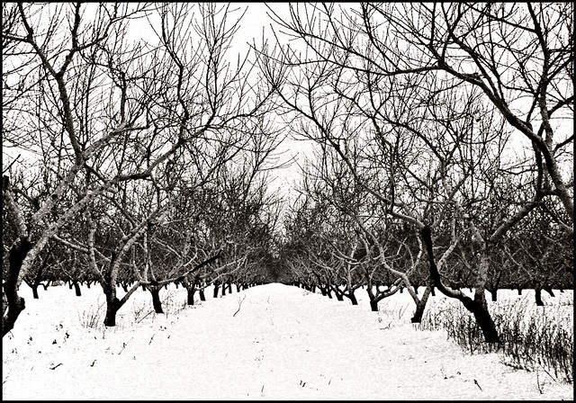 Apple Trees, No. 6