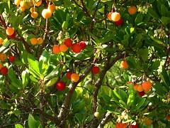 Arbousier et ses fruits