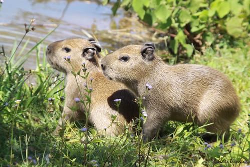 brazil naturaleza nature animal animals brasília brasil cores natureza series animais cor série capybara filhotes capivara hydrochoerushydrochaeris capivaras nestling nestlings capybaras séries hydrochoerus hydrochaeris