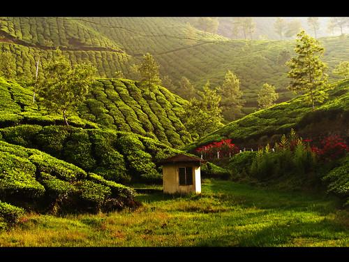 india green tea kerala munnar teaestate