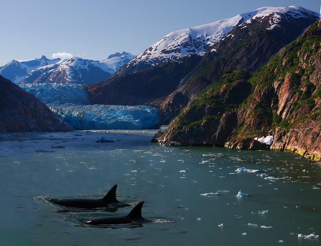 Orcas transitando los fiordos de Alaska.