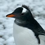Gentoo Penguin Mohawk Style - Antarctica