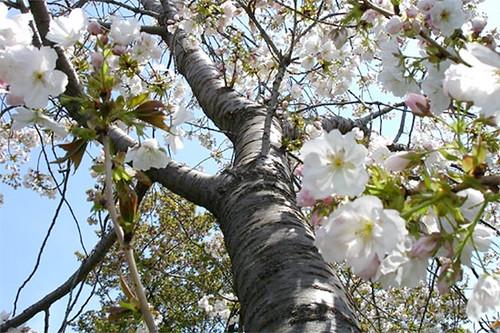 Prunus serrulata 'Ojochin'