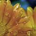 Pintando flores sin pincel [EXPLORE -dropped-] by Maqqabi