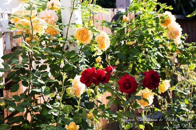 Hoa hồng Golden Celebration Rose và hồng Black Magic rose