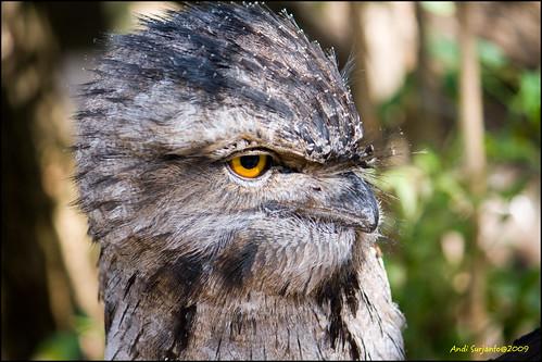 fauna geotagged australia tawny frogmouth geo:lon=150882432 geo:lat=33765342