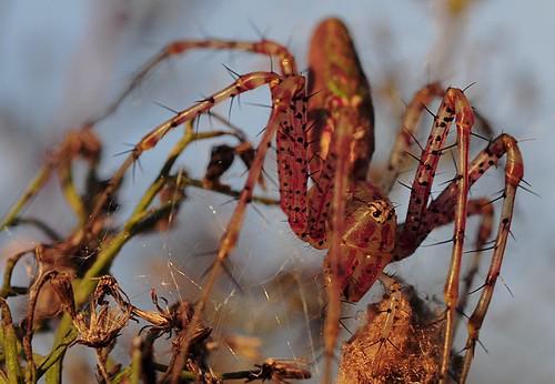 macro nature florida lynx plantcity