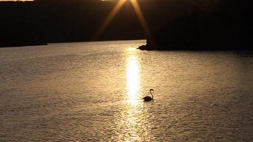 Flamingo graces through the sunset