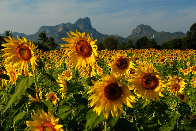 Lopburi Thailand  city photos : Sunflowers Lopburi Thailand 112808 01 | Flickr Photo Sharing!
