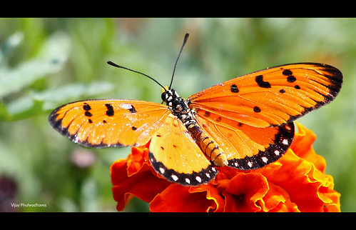 Butterfly: Tawny Coster (Acraea terpsicore)