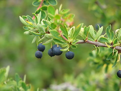 evergreen, berry, branch, tree, flora, chokeberry, fruit, prunus spinosa,