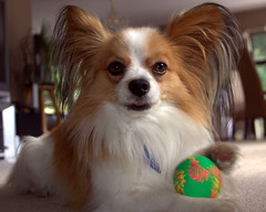 dog breed, animal, dog, pet, mammal, japanese chin, papillon,