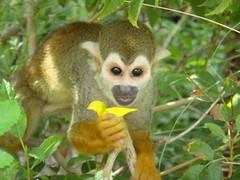 animal, monkey, mammal, squirrel monkey, fauna, new world monkey, wildlife,