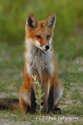 Red Fox Kit-1153   Flickr - Photo Sharing!