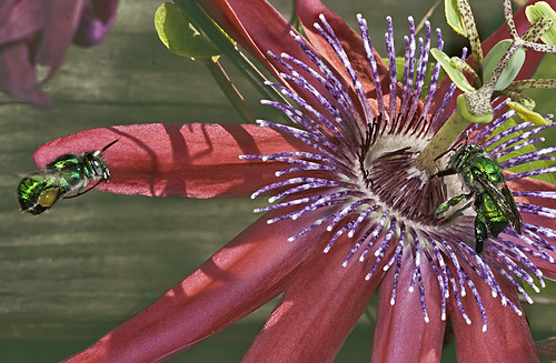 Green Orchid Bee in Flight over Passiflora by DiGitALGoLD