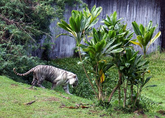 Rainforest On The Big Island: Pana'ewa Rainforest Zoo--Namaste The White Tiger 4