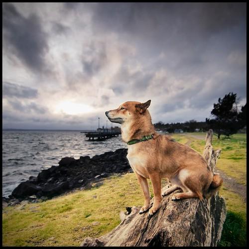 seattle sunset dog storm outside wind fox shiba inu elliottbaypark 1352 52weeksfordogs