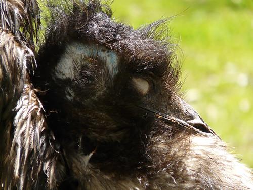 Emu (Dromaius novaehollandiae) I