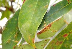shrub(0.0), flower(0.0), plant(0.0), produce(0.0), leaf(1.0), tree(1.0), macro photography(1.0), flora(1.0), green(1.0), fauna(1.0), plant pathology(1.0),