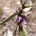 Small photo of Hovea linearis