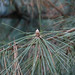 Small photo of Japanese Black Pine