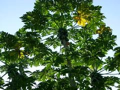 papaya, branch, leaf, tree, jungle,